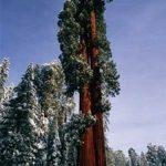 sequoia-gigante_N1